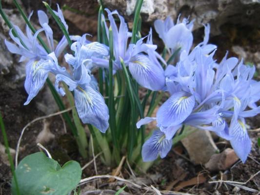 Iris vartanii Foster