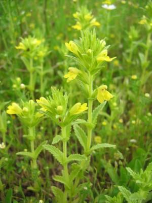 עלקלוק דביק Parentucellia viscosa (L.) Caruel