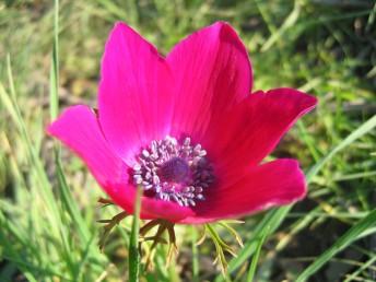 בצפון הארץ מצויים בקרקעות חרסיתיות פרחים העלי שפע של גוונים כגון לבן, ורוד, סגול, ארגמן.