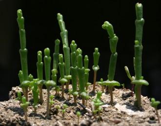 עשבים חד-שנתיים זקופים, קרחים ובשרניים. ענפים בעלי פרקים ומפרקים בולטים לעין; העלעלים קשקשיים, נגדיים.