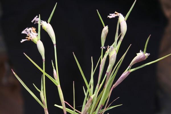 כוסנית משוננת Cornucopiae cucullatum L.