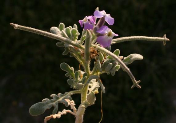 מנתור החוף Matthiola tricuspidata (L.) R.Br.