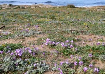 עשבים לבידים הגדלים בקרבת חוף הים-התיכון.