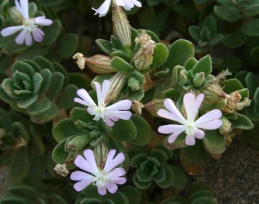 Silene succulenta Forssk.
