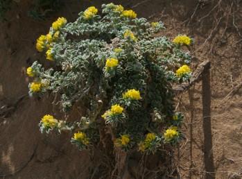 צמחים שעירים מלבינים.