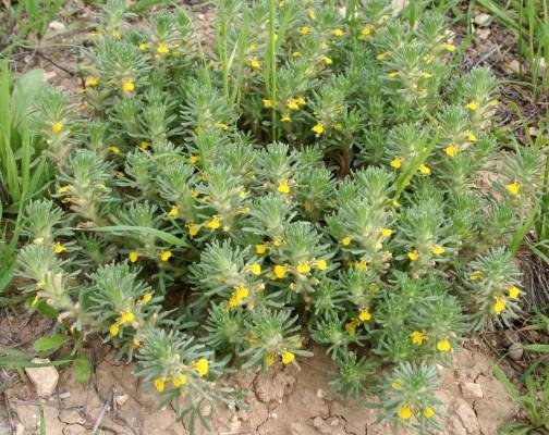Ajuga chamaepitys (L.) Schreber subsp. chia (Schreber) Arcangeli