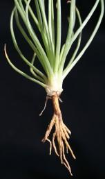 צמחים חד-שנתיים. ציצת השורשים עטופה בבסיסה באופן שמדמה שורש שיפודי  מתחת לעלים הראשונים.