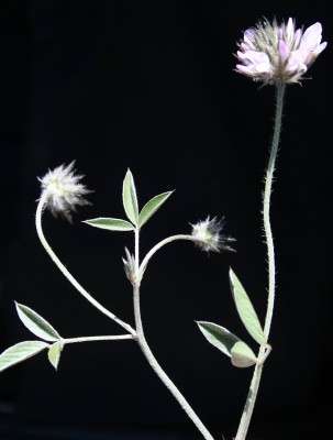 שרעול שעיר Bituminaria bituminosa (L.) C.H.Stirt.