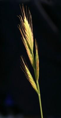 עוקצר מצוי Brachypodium distachyon (L.) P.Beauv.