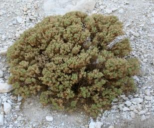 בני-שיח צפופים וכדוריים בהם העלים מסתירים לעתים קרובות את הגבעולים המעוצים.