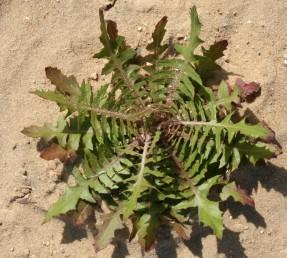 העלים גזורים-מנוצים לאונות מוארכות, צרות. צמחים הגדלים בקרקעות חוליות של מישור החוף.