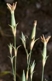 הפרחים בודדים בראשי גבעולים, כותרתם בהירה ללא מרכיב ורוד-סגול, בבסיס הגביע 6 קשקשים.