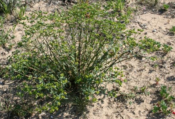 Euphorbia terracina L.