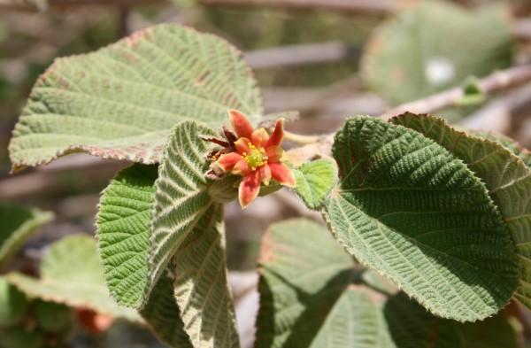 גרויה שעירה Grewia villosa Willd.