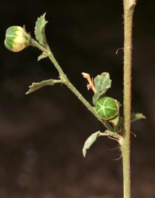 Hibiscus micranthus L.f.