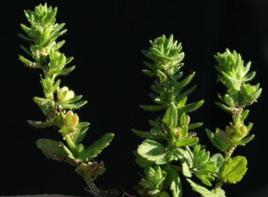 ורוניקת השדה Veronica arvensis L.