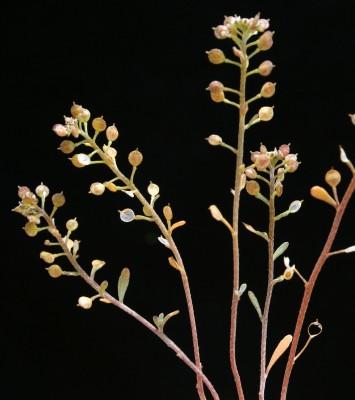 Lobularia arabica (Boiss.) Muschl.