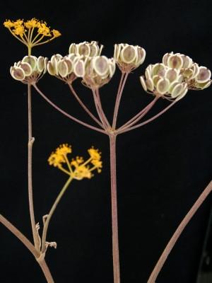 אגורה מדברית Malabaila secacul (Banks & Sol.) Boiss.