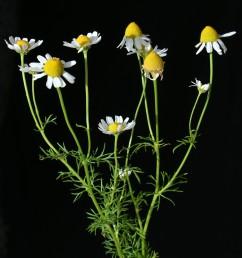 עשב חד-שנתי ריחני, העלים גזורים לאונות דקות. פרחי המרכז צינוריים, ההיקפיים לשוניים, לבנים.