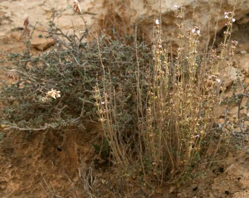 Micromeria sinaica Benth.