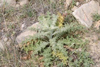 העלים התחתונים ירוקים-מלבינים, מכוסי שערות ארוכות הדומות לקורי עכביש, צמחים אפורים.