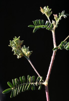 Onobrychis squarrosa Viv.