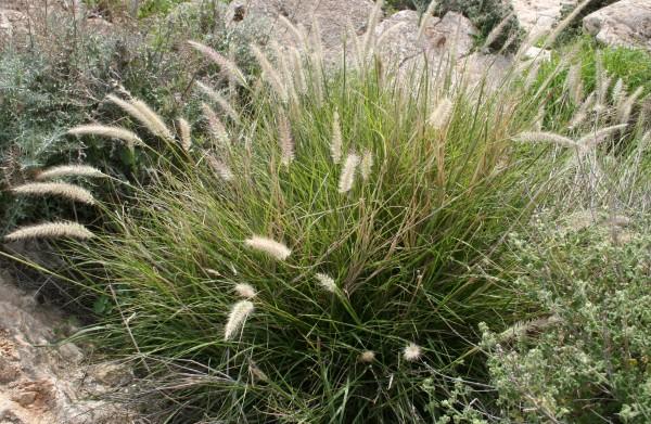 Pennisetum orientale L.Rich.