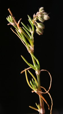 אפזרית בוקון Spergularia bocconei (Scheele) Graebn.