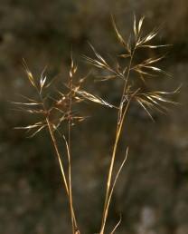 עשב חד-שנתי בעל תפרחת מכבד מבודר וגלומות מבריקות בעת הפריחה.