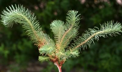 העלים התחתונים נימיים או מחטניים, העלים המלווים את התפרחות דמויי ביצה רחבה או מעוין רחב.