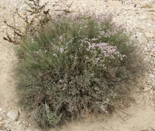 צמחי מדבר רב-שנתיים בעלי בסיס מעוצה חסרים עלים בזמן הפריחה.