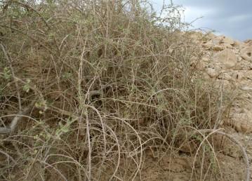 שיחים דוקרניים בעלי ענפים שעירים, גובהם 2-1 מ'. צמחי מעיינות מלוחים ומליחות במדבר.