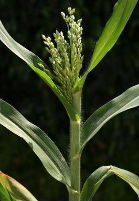 דוחן תרבותי Panicum miliaceum L.