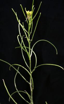 תודרה דמשקאית Sisymbrium damascenum Boiss.