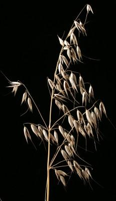 שיבולת-שועל תרבותית Avena sativa L.