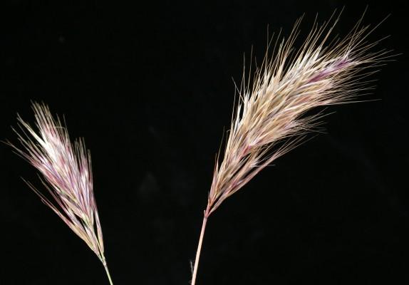 Bromus rubens L.