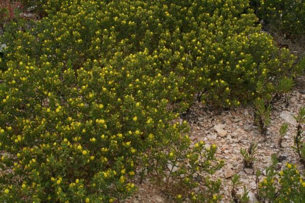 שברק דביק Ononis pubescens L.
