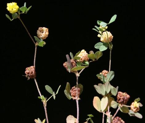 תלתן חקלאי Trifolium campestre Schreb.