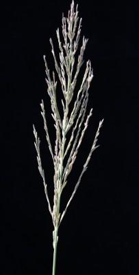 דו-מוץ חום Leptochloa fusca (L.) Kunth