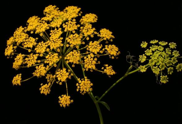 נירית הקמה Ridolfia segetum (L.) Moris
