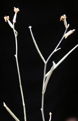 מנתור מצוי Matthiola longipetala (Vent.) DC.