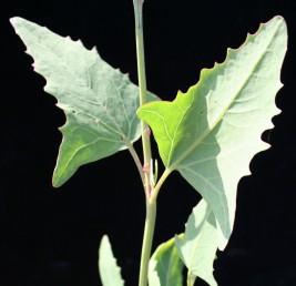 מרבית העלים נגדיים, משוננים, משולשים ודמויי חץ או רומח בבסיסם.