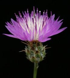 צבע הפרחים ורוד; פרחי ההיקף גדולים, חפי-המעטפת בעלי תוספת ארוכה, תמימה או מצויצת.