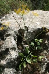 עשבים רב-שנתיים קירחים, גובהם 70-40 ס