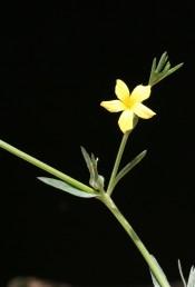 צבע הכותרת צהוב-לימון, עלי-הגביע דמויי סרגל, אורכם פי 3-2 מאורך ההלקט, ההלקט אינו נפתח.