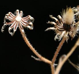 זרעוני ההיקף בעלי ציצית של שערות קצרות.