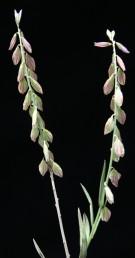 צמחים חד-שנתיים עדינים, קרחים. העלים דמויי סרגל בצמח הפורה ניכרים שני עלי-גביע גדולים בצבע לבן עם עירוק ירוק.