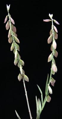 מרבה-חלב מונפלייני Polygala monspeliaca L.