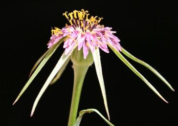 הפרחים הלשוניים ורודים-סגולים, אורכם כרבע מאורך עלי-המעטפת. צינורות המאבקים שחורים.