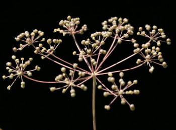 הסוככים והסוככונים בעלי יותר מ-5 עלי-מעטפת. הפרודות כדוריות. אונות העלים נימיות או דמויות סרגל. גובה הצמח 50-10 ס